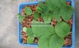 Rhapidophora-celatocaulis-Philippines-750-