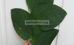 Rhapidophora-celatocaulis-Philippines-big-leaf-850Rhapidophora-celatocaulis-Philippines-big-leaf-850