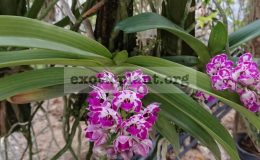 Rhyncostylis-gigantea-bicolor-35
