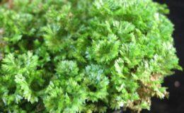 Selaginella-apoda-12-e1457792724288