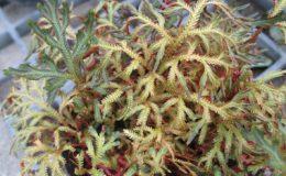 Selaginella-erythropus-12