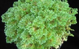 Selaginella-kraussiana-12-e1457792527709