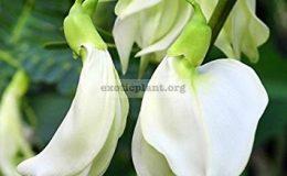 Sesbania-Grandiflora-white