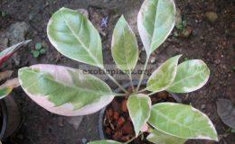 Solandra-grandiflora-albomarginata-