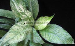 Spathiphyllum-City-of-Angel-15-25-