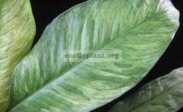 Spathiphyllum-City-of-Angel-15-25-1-1
