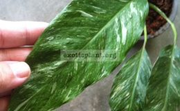 Spathiphyllum-Silver-Rain-35-