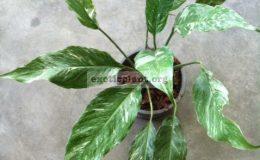 Spathiphyllum-Silver-Rain-35-1-1