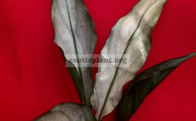 Spathiphyllum-blandum-'Spilt-Milk'-narrow-leave-clone-1500-sample-
