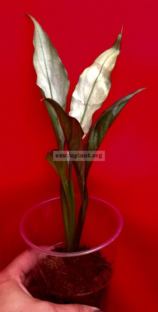 Spathiphyllum-blandum-'Spilt-Milk'-narrow-leave-clone-1500-sample