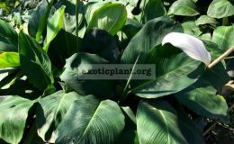 Spathiphyllum-cannifolium-1-1