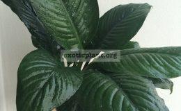 Spathiphyllum-cannifolium-Black-Beauty-25