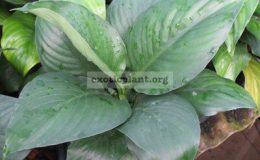 Spathiphyllum-cannifolium-Black-Beauty
