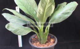 Spathiphyllum-cannifolium-Silver-Dust-