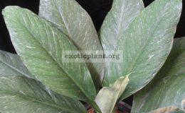 Spathiphyllum-cannifolium-Silver-Dust
