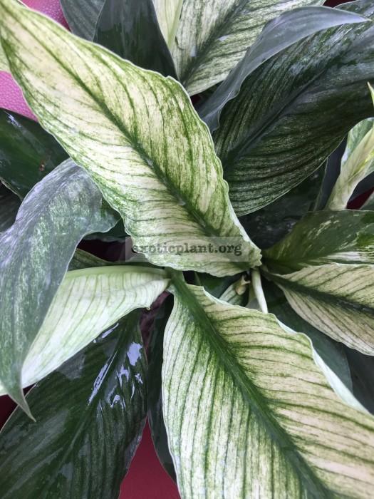 Spathiphyllum-cannifolium-White-variegated-