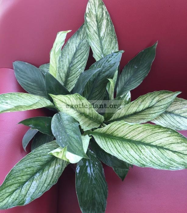 Spathiphyllum-cannifolium-White-variegated-1-1