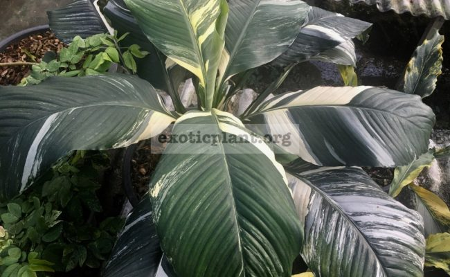 Spathiphyllum-cochlearispathum-'Sunny-Sailswhite-form-1-1