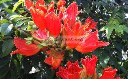 Spathodea-campanulata-25