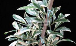 Suregada-multiflora-white-leaf