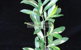 Suregada-multiflorum-yellow-leaf