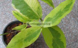 Syzygium-jambos-Lemonlime-
