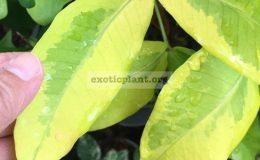 Syzygium-jambos-Lemonlime-40