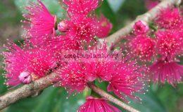 Syzygium-malaccense