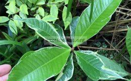 Syzygium-malaccense-albomarginata-grafted-60