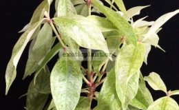 Syzygium-malaccense-variegated-Indonesiagrafted-50