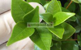 Syzygium-paniculatum-heart-leaf-35-