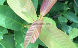 Syzygium-samarangense-small-and-red-fruit-30-