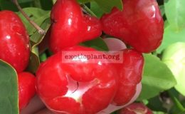 Syzygium-samarangense-small-and-red-fruit-30