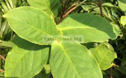 Syzygium-samarangense-small-and-white-fruit-32-