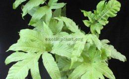 Tectaria-sp.T01-