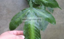 Tectaria-sp.T02-variegated