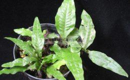 Tectaria-sp.T03