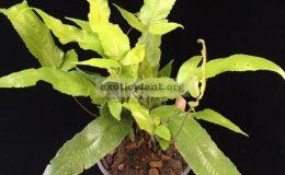 Tectaria-sp.T04-Khao-Yai-38