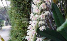 Tuberolabium-quisumbingii