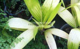 Vietchia-merrillii-Golden-leaf-35