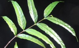 Wrightia-dubiared-flowerlong-leaf-35