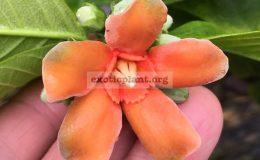 Wrightia-sp.-Khao-Yai-orange-flowergrafted-60