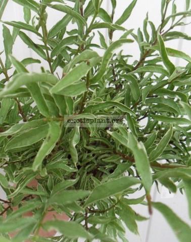 Wrightia sp. Dwarf albomarginata = Wrightia sp.(T01) Dwarf albomarginata Vietnam 20-30