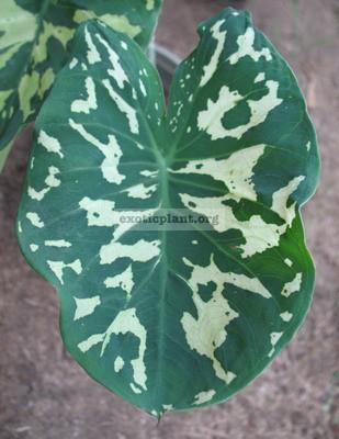 Xanthocaladium-Hilo-Beauty-