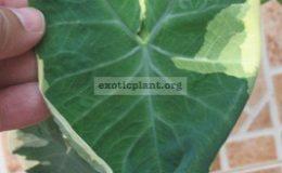 Xanthosoma-sagittifolium-albomarginata