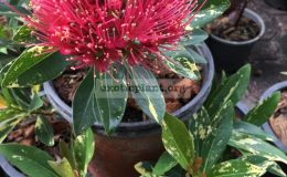 Xanthostemon-chrysanthus-variegated-red-flower-new-70-1-1