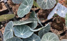 adenia-sp-purple-leaf-new-75