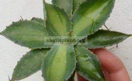 agave-potatorum-mediovariegated-60