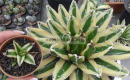 agave-victoria-reginae-cv-Kizan-small-size-45