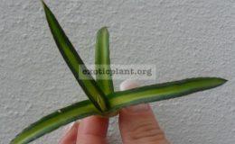 agave-victoria-reginae-yellow-medivariegated-40